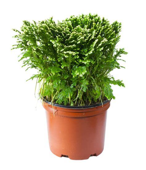 felce da vaso felce decorativa in un vaso immagine stock immagine di