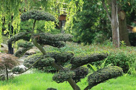 un cour de cuisine buis et érable du japon incontournables créer un jardin