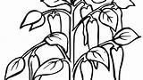 Pepper Coloring Chili Drawing Pages Plant Printable Getdrawings Plants Getcolorings Trees sketch template