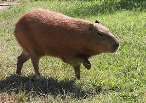 Capybara Photo-of-the-Day, A capybara walks just like a ...