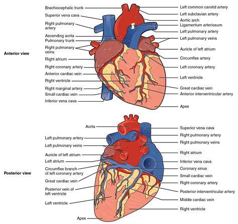 heart anatomy anatomy  physiology
