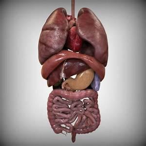 Internal Organs  By Human Factory