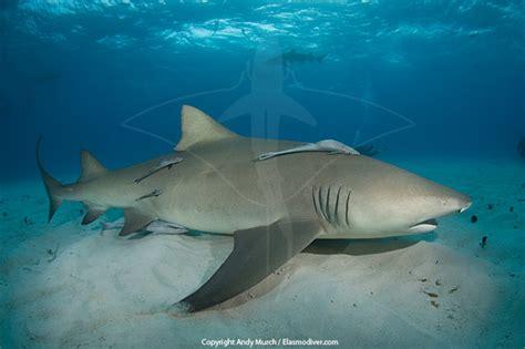 lemon syari lemon shark