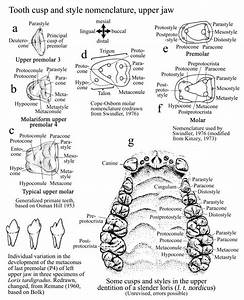 Names Of Teeth  Tooth Parts  Diastema      With Images