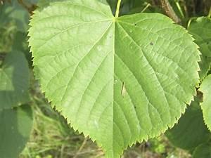Pflanze Mit Großen Blättern : bilderserie welcher baum ist das koleo umwelt und ~ Michelbontemps.com Haus und Dekorationen