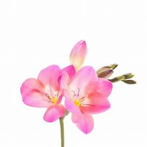 Pink Freesia - Freesia - Types of Flowers   Flower Muse
