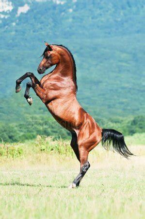 steigerend paard stockfotos rechtenvrije steigerend