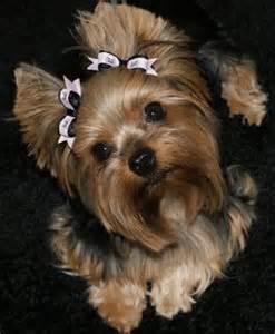 Dog Yorkie Yorkshire Terrier