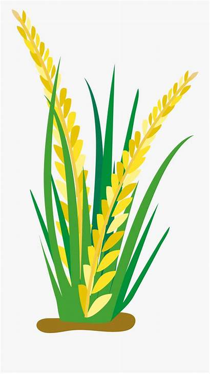 Rice Cartoon Plant Clipart Clip Planting Crops