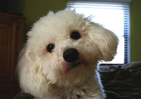 Bichon Frise Dogs And Puppies Wiki Fandom Powered By Wikia