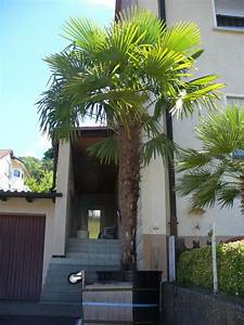 Palmen Für Den Garten : 6 winterharte palmen sonstiges f r den garten balkon terrasse ~ Sanjose-hotels-ca.com Haus und Dekorationen