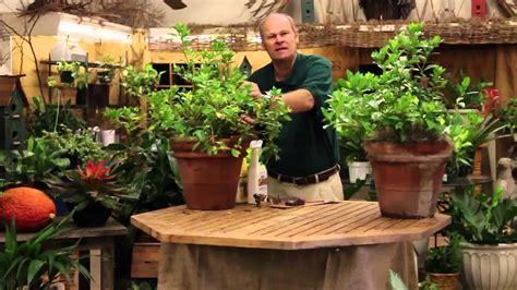 care tips for indoor gardenia plants