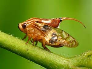 What Does a Spittle Bug Look Like