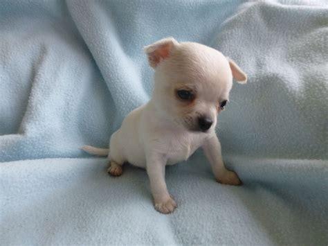 pure white chihuahua bitch puppy bungay suffolk