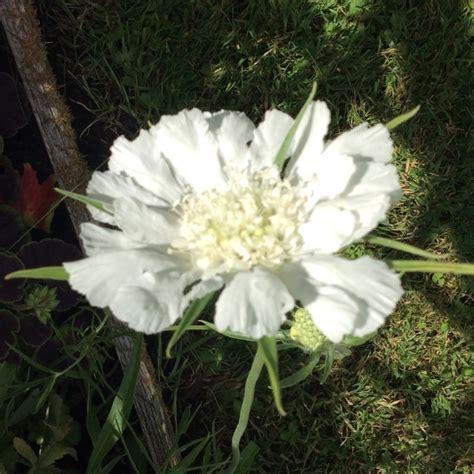 Scabiosa Caucasica Perfecta Alba Pincushion Uploaded