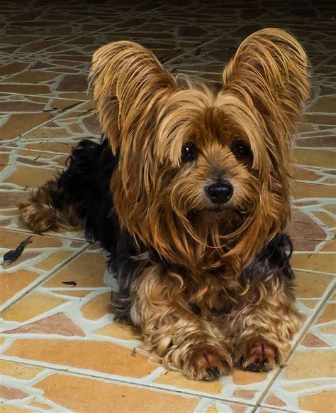 dog yorkshire terrier vigilant  photo  pixabay