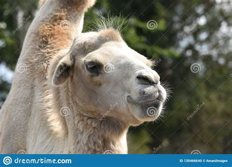 Headshot Of An African Goat Tilting Its Head, Looking At