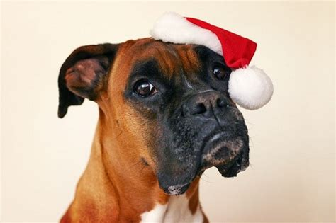 Boxer Dog In Christmas Hat,