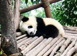Cute, sleeping, baby panda | Animals | Pinterest