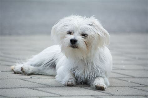 What is the Best Dog Food for a Maltese?