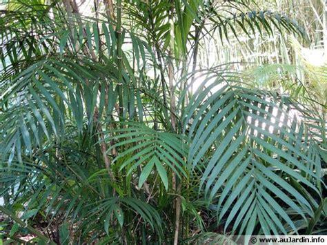 cuisiner avec les fleurs palmier bambou du costa rica chamaedorea costaricana