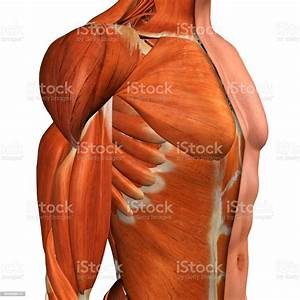 Male Chest Muscles Three Quarter Side View On White Stock