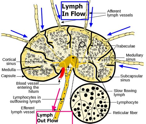 Lymph Nodes Causes Of Swollen Lymph Nodes In Neck Groin