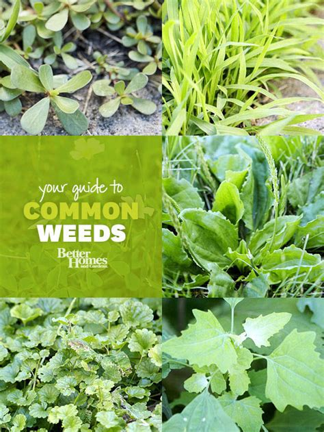 weeds garden identify weed identification guide