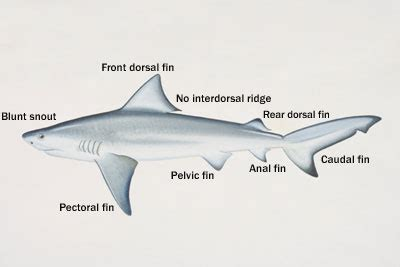 riverview science carcharhinus leucas