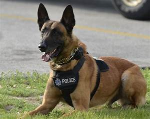 Belgian Malinois Police Dogs For Sale - Goldenacresdogs.com