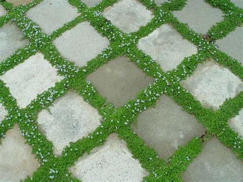 irish moss growing between pavers landscaping