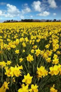 Golden Field of Daffodils
