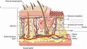 Image Gallery Skin Anatomy
