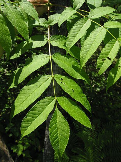 fraxinus nigra wikidata