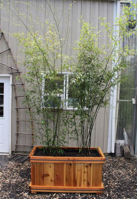 growing bamboo in containers growing and maintaining bamboo 4105
