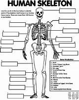 Skeleton Human Coloring Crayola Bones Bone Anatomy Printable Colouring Foot Sheet Label Arm Organs Heart Cell Knee Skull Leg Spine sketch template