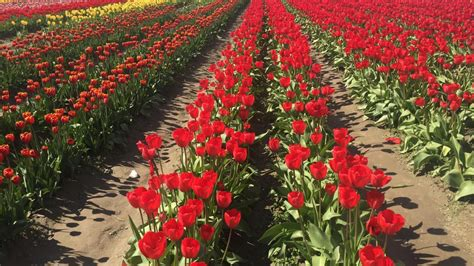 what to do at the skagit valley tulip festival travel
