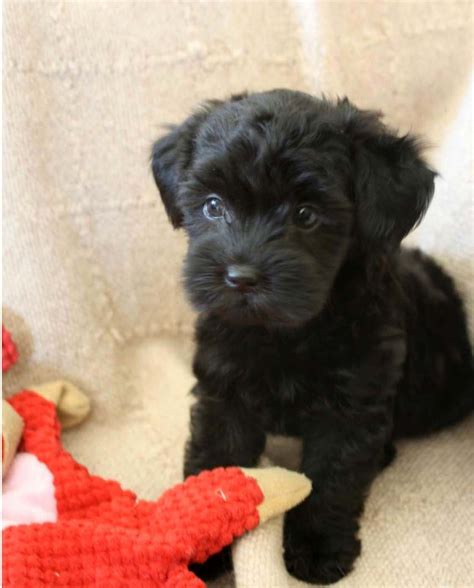 Black Mini Toy Poodle Childrens Toy Wallpaper Dogs