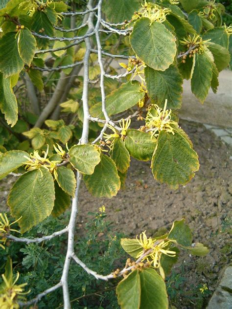 picture of witch hazel plant november welcomes the witch hazel s blooms