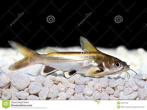 argent argent inclin 233 de seemanni d ariopsis de poisson chat de requin inclin 233 photo stock