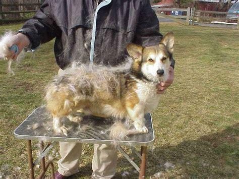 do all dogs shed their fur corgi shedding corgi guide