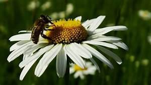 Welche Blumen Für Bienen : welche pflanzen m gen bienen tipps f r bienenweiden und co bayern 1 radio ~ Eleganceandgraceweddings.com Haus und Dekorationen