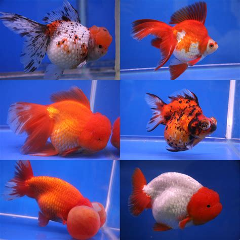 types  goldfish  goldie identification guide