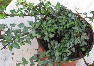Efeu Pflanzen Kaufen : hedera helix 39 mini 39 kleinbl ttriger efeu pflanzen ~ Michelbontemps.com Haus und Dekorationen