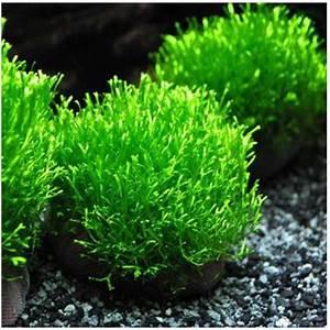 Riccia Crystalwort Fluitans