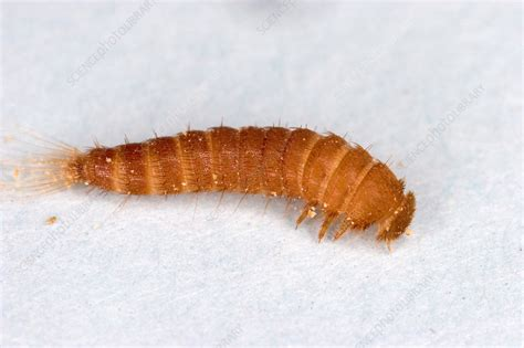 Carpet Beetle Control Derby, Sheffield & Coventry Carpet To Go More Charleston Fenton Cleaning Llc Supplies Denver Best Cleaner With Furniture Attachment Vacuum For Dog Hair On Cost Of Installed Ontario Amazing Cleaners Sydney Atlanta Kudzu