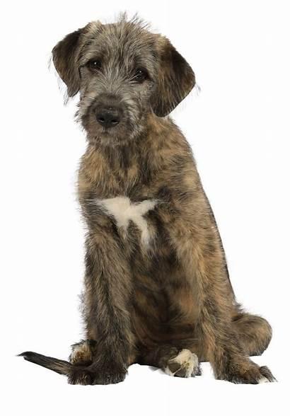 Wolfshund Irischer Wolfhound Irish