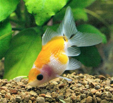 pearlscale goldfish pearlscale fancy goldfish information
