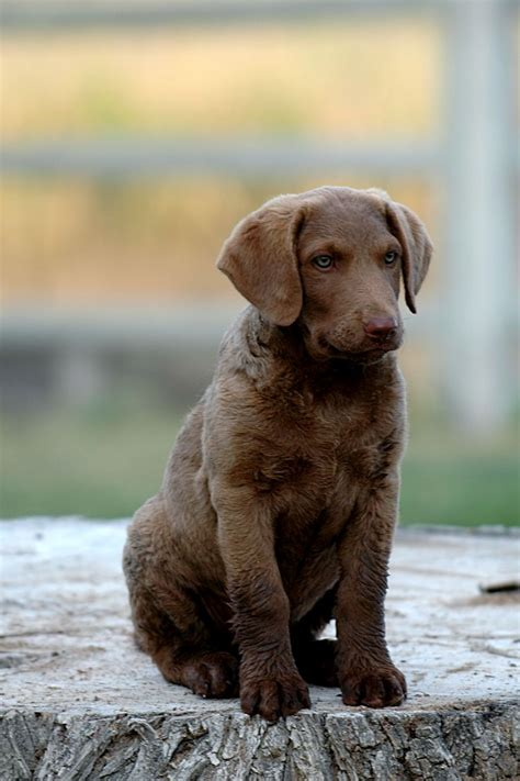 does chesapeake bay retriever shed pet s we 10 of the most high energy breeds