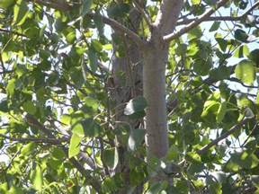 Cottonwood Tree